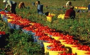 raccolta pomodori-2